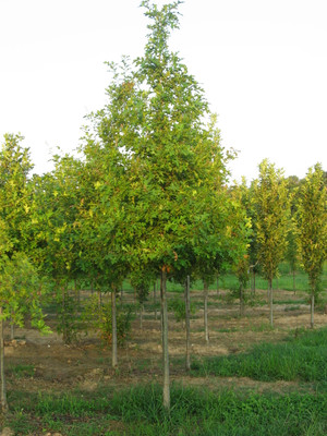 Nuttall Oak are a fast growing tree that make excellent shade trees.