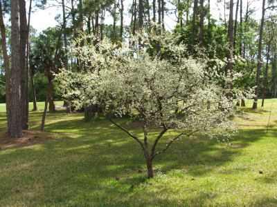 Chickasaw Plum is a fast growing tree that would look great in any area.