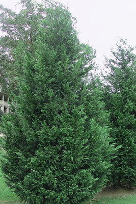 Murray Cypress is a fast growing, weather resistant evergreen tree.