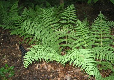 Marginal Wood Fern are beauitful semi-evergreen ferns.