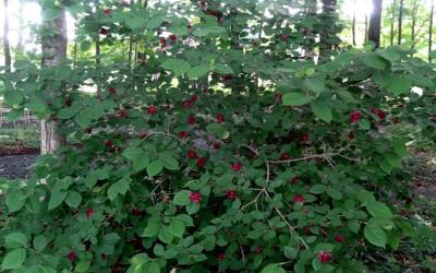 Carolina Allspice is a fast growing shrub that has beautiful fall foliage.