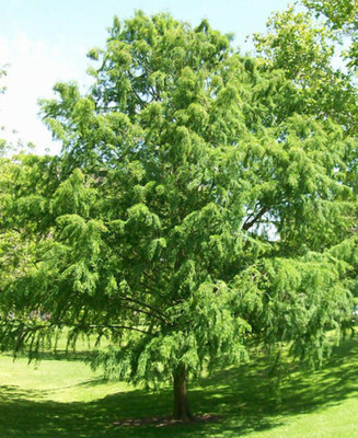 Bald cypress is a moderately fast growing evergreen.
