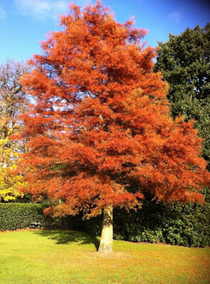 Dawn Redwood Trees are fast growing with beautiful orange fall foliage.