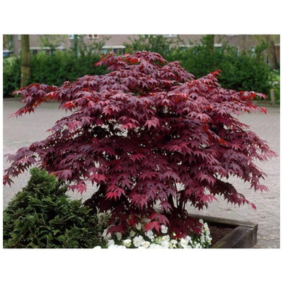 Bloodgood Japanese Maple is a fast growing tree with beautiful fall foliage.