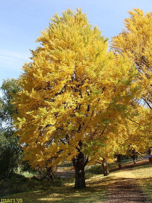 The Ginkgo biloba tree is a fast growing tree that has gorgeous fall foliage.