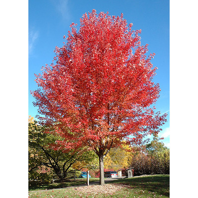 Autumn Blaze Maple is a fast-growing tree that has beautiful fall foliage.