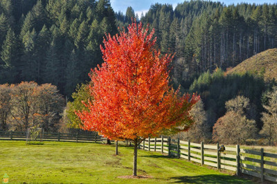The October Glory Maple is a fast growing tree with gorgeous fall foliage.