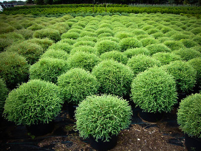 Mr Bowling Ball Shrubs