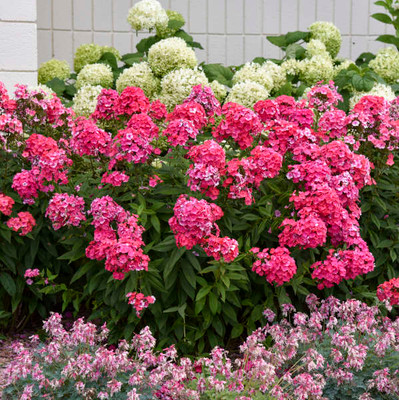 The Glamour Girl phlox has beautiful pink flowers.