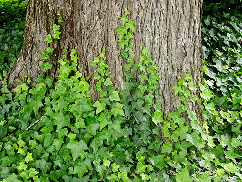 Live English Ivy For Sale $4.99 | Lowest Online Pricing
