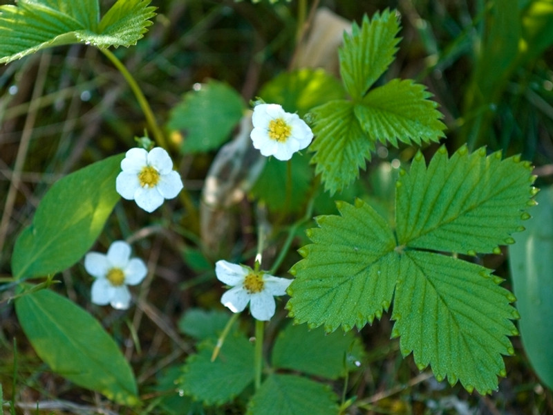 Wild Strawberries Strawberry Plant