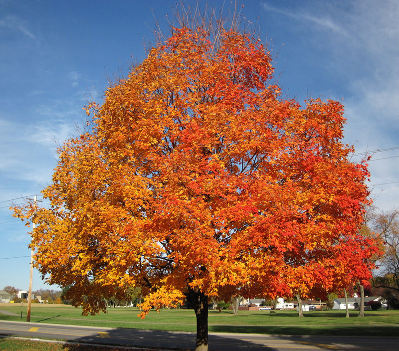 Sugar Maple Tree Facts Sugar Maple Tree Growing Information