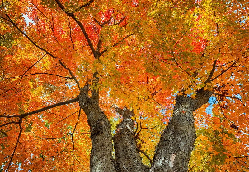 Sugar Maple Trees For Sale Guaranteed To Grow