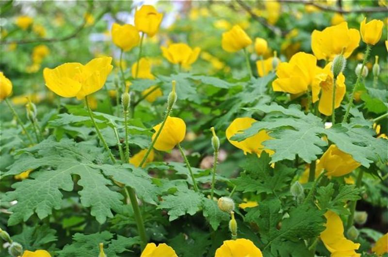 Stylophorum diphyllum For Sale | Buy Celandine Poppy