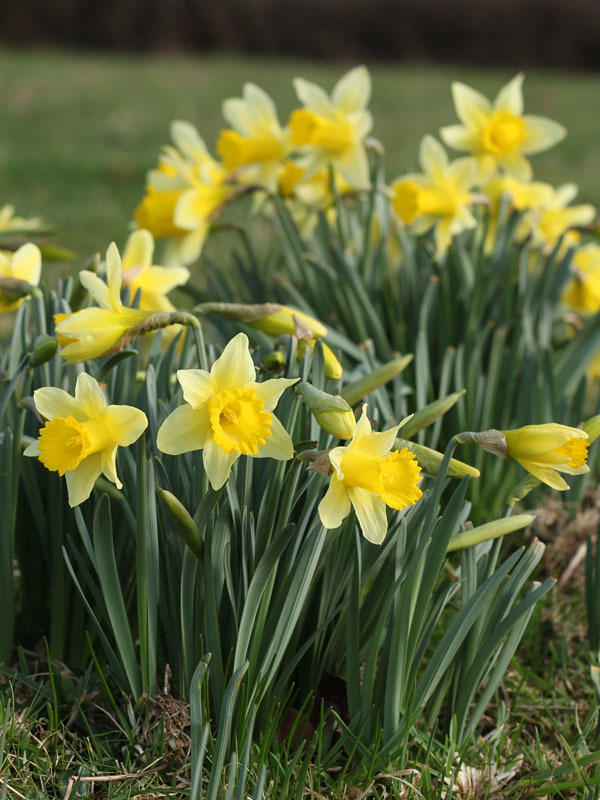 The Benefits of Planting Perennial Bulbs