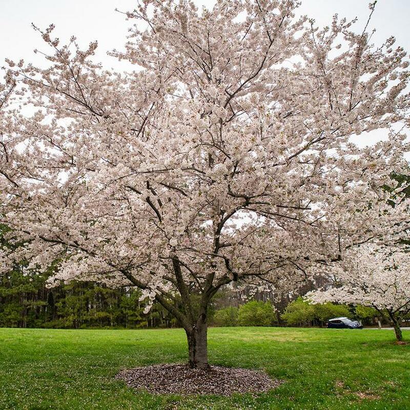 Yoshina Cherry Tree flowering in Spring