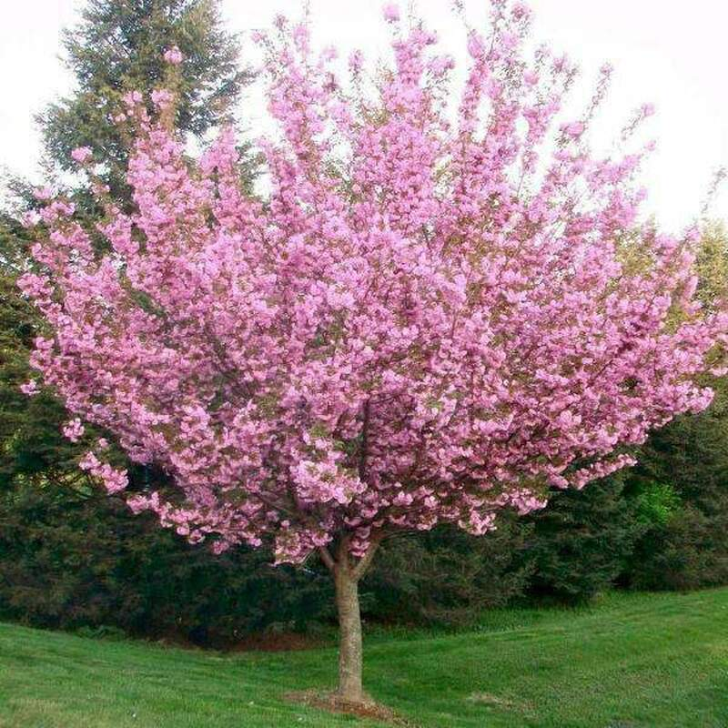 Kwanzan cherry tree blooming in Spring.