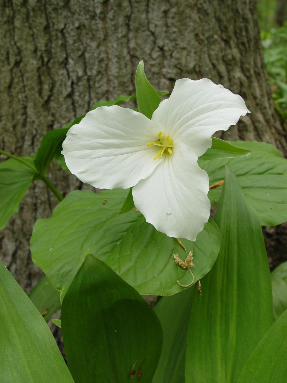 Great White Trillium For Sale Trillium Grandiflorum Bulbs