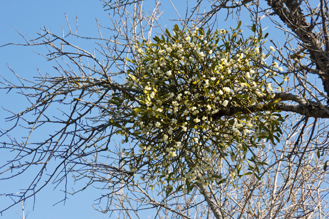 Real Mistletoe For Sale Guaranteed Christmas Delivery