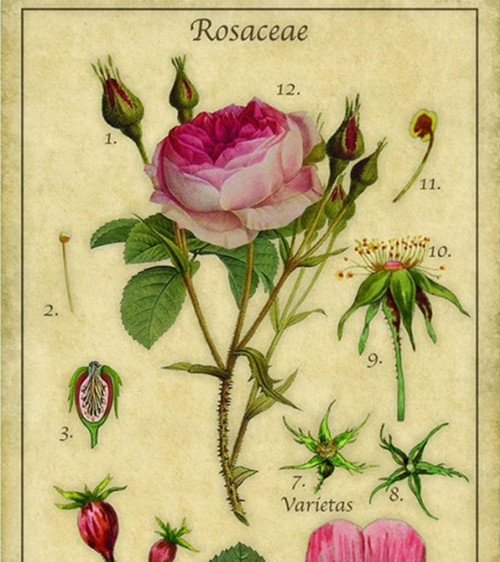 Rose Canvas Wall Art vintage print by Red Horse Signs detail of flower