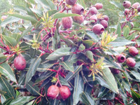 88820 F22- Sweet Berries Contains Fresh Fruit - SYDNEY DEL ONLY,
