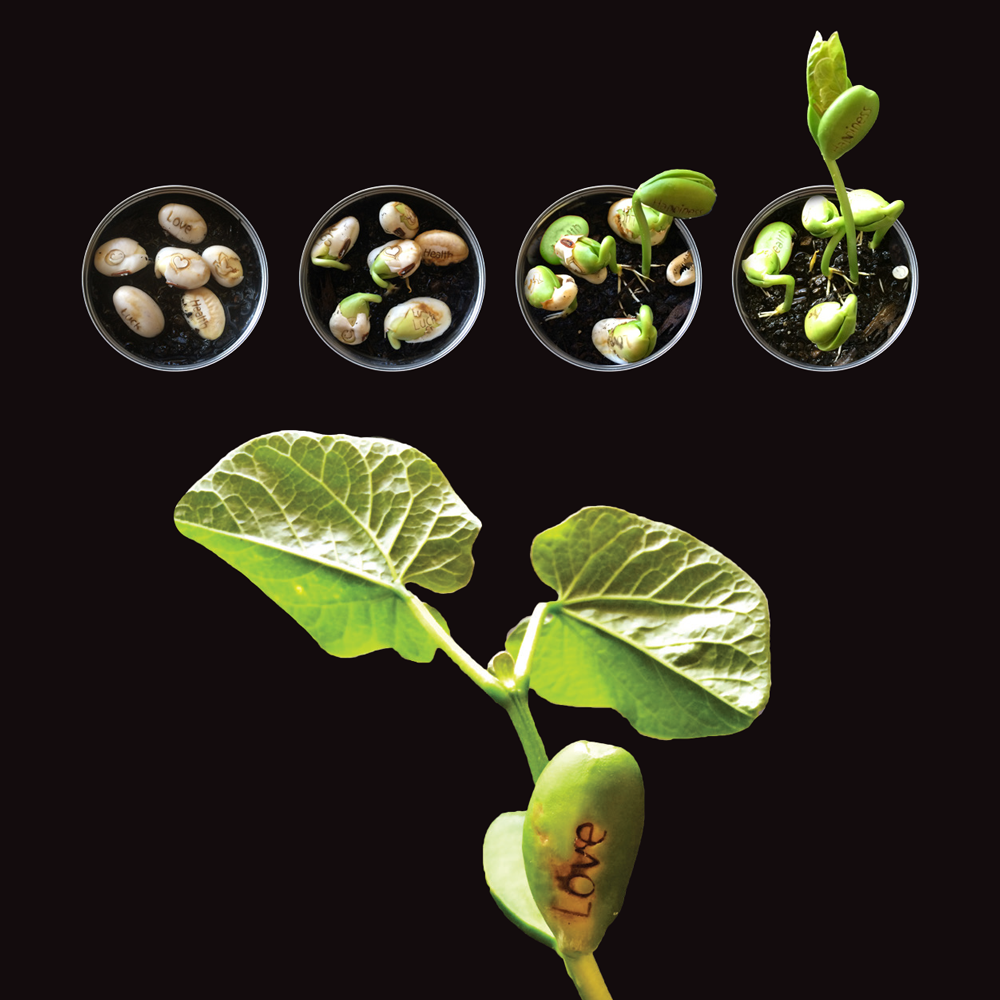Magic Beans Growing | The Design Gift Shop