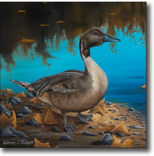 Small Canvas Print - Pintail