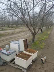 Almond Pollination Preparation
