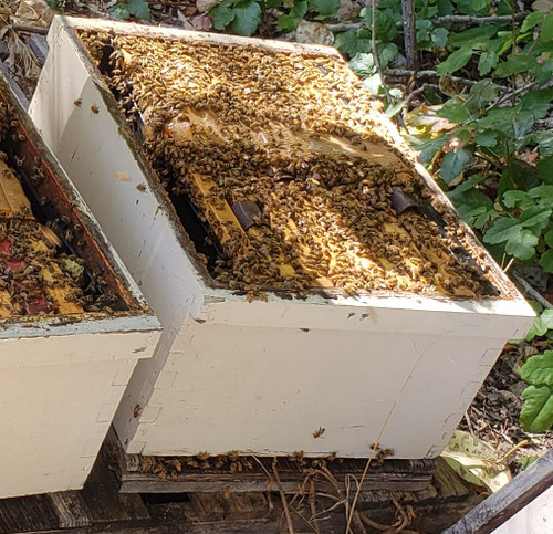 Bee Hive - Live Bees- (Single Deep) SPRING 2021