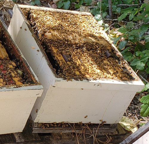 Bee Hive - Live Bees- (Single Deep) MID- SPRING 2021