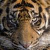 Amur Tiger 126 Piece Small Size Wooden Jigsaw Puzzle | Zen Puzzles