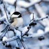 Black Capped Chickadee 125 Piece Small Wooden Jigsaw Puzzle | Zen Puzzles