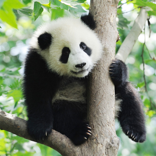 Baby Panda 50 Piece Teaser Wooden Jigsaw Puzzle | Zen Puzzles