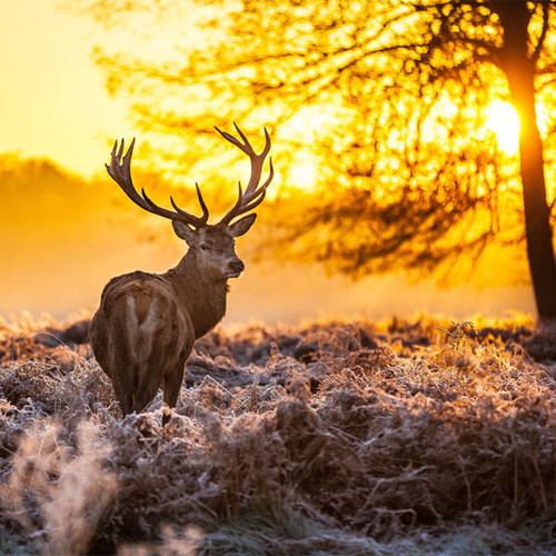 Red Deer at Dawn 126 Piece Small Size Wooden Jigsaw Puzzle | Zen Puzzles