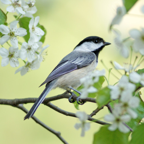 Spring Chickadee 125 Piece Small Wooden Jigsaw Puzzle | Zen Puzzles