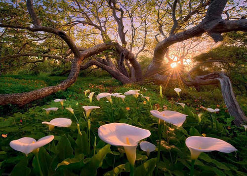 """""""Magic Forests, Calla Clearing"""" 1000 Piece Jigsaw Puzzle 