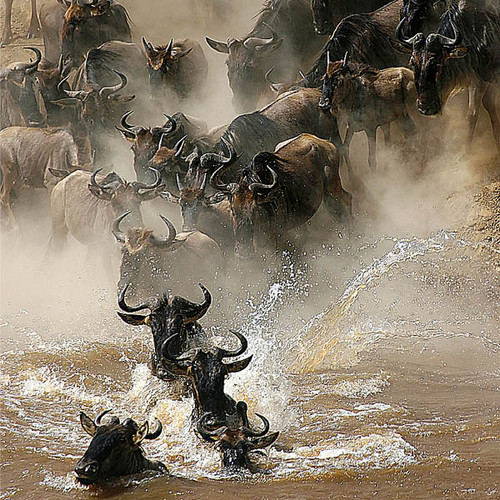 Crossing the Mara River 126 Piece Small Wooden Jigsaw Puzzle   Zen Puzzles
