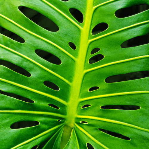 Monstera Leaf 159 Piece Small Wooden Jigsaw Puzzle   Zen Puzzles