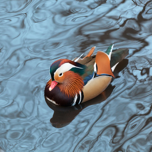 Mandarin Duck 126 Piece Small Wooden Jigsaw Puzzle | Zen Puzzles