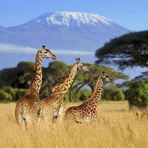 """Giraffe Safari"" 125 Piece Small Wooden Jigsaw Puzzle | Zen Puzzles"