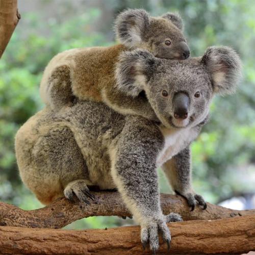 """Koalas"" 126 Piece Small Wooden Jigsaw Puzzle | Zen Puzzles"