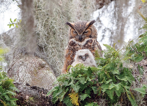 """""""Great Horned Owl"""" 1000 Piece Jigsaw Puzzle 