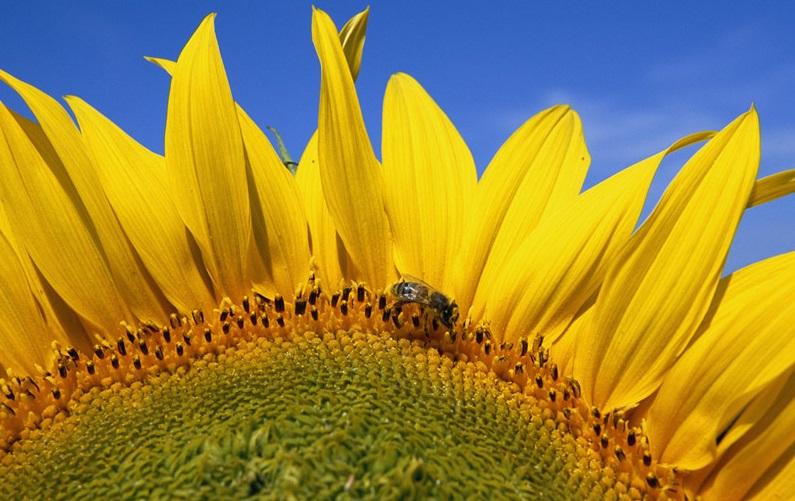 honey-bee-flower.jpg