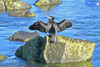 Black Shag Drying Its Wings