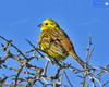 Yellowhammer In The Boxthorn