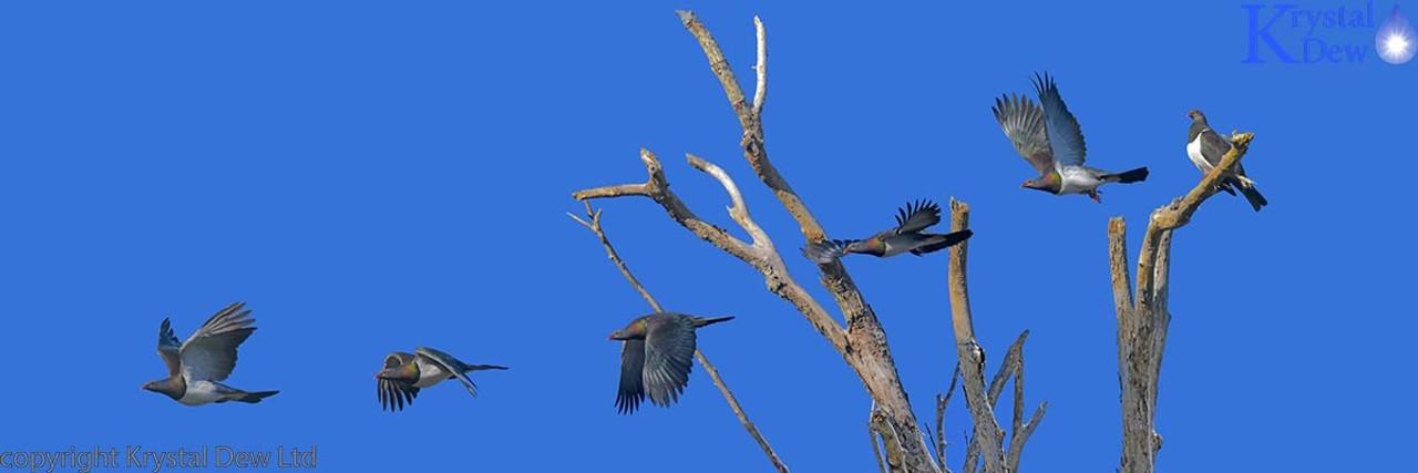 Kereru, Pigeons, Doves & Cuckoos