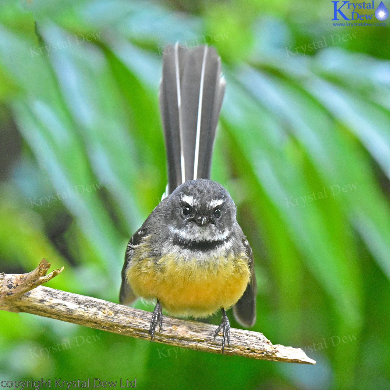 0cc7a2ca712 Fantail (Piwakawaka) Perched In The Garden
