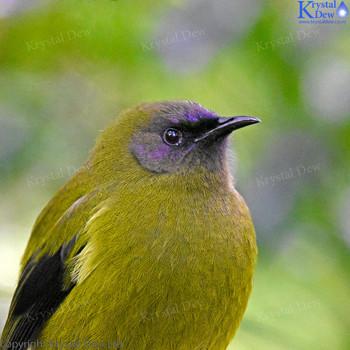 Bellbird/Korimako
