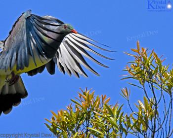 A kereru launching into flight from the top of a tawa