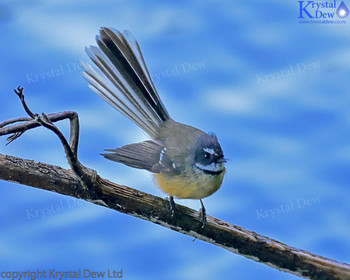Fantail Over The Water